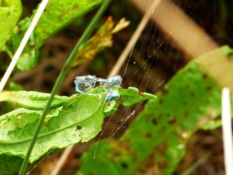 Half-eaten Damselfly wrapped in spider's web