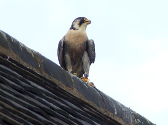 Peregrine Falcon (trained) at Bosworth Visitor Centre