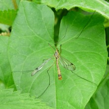 Cranefly (probably Nephrotoma sp)