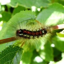 Caterpillar of Yellow-Tail Moth