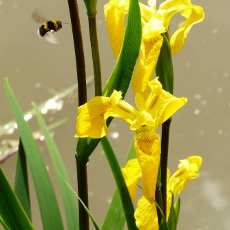 White-tailed Bumblebee on Yellow Iris