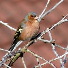 Chaffinch (male - rare)