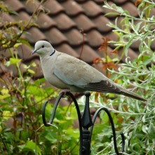 Collared Dove (unusual)