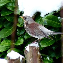 Fieldfare (uncommon winter migrant)
