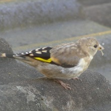Goldfinch (immature)