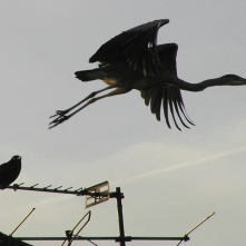 Grey Heron being harrassed by a gull and crow