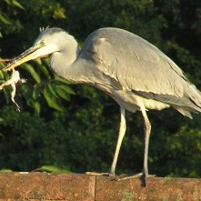 Grey Heron eating a frog taken from our pond