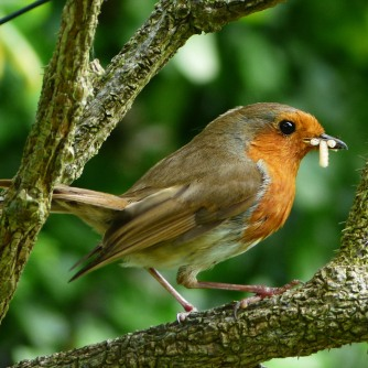 Robin (they nest in our garden)