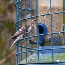 Redpoll, probably Mealy