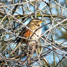 Redwing (uncommon winter migrant)