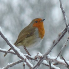 Robin (common)
