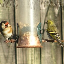 Goldfinch (L) and Siskin