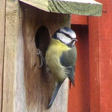 Blue Tit (common)