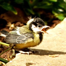 Great Tit fledgling (they breed every year in a box with a camera on our house wall)