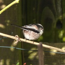 Long-tailed Tit (immature)