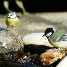 Blue Tit (L) and Great Tit