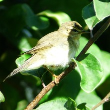Warbler - probably Chiffchaff
