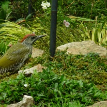 Green Woodpecker, juvenile