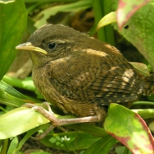 Wren fledgling - they have only nested once in our garden)